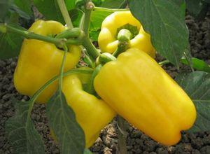 Сладкий перец калифорнийское чудо: описание, рекомендации по выращиванию и уходу в теплице