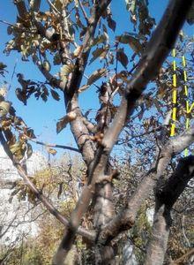 Сливовые деревья. формируем будущую крону