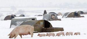 Содержание и разведение свиней: породы свиней