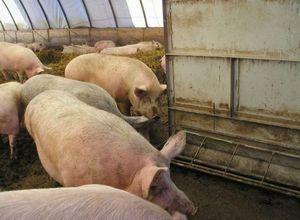 Содержание свиней в свиноводческих хозяйствах