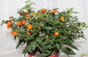 Соланум: описание, размножение, уход и борьба с вредителями растения