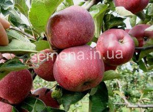 Сорт яблок айдаред: особенности сорта и выращивание