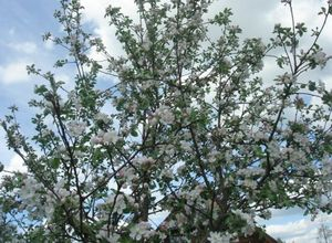 Сорт яблони орловим — любимец садоводов