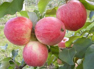 Сорт яблони услада – мечта садоводов-любителей