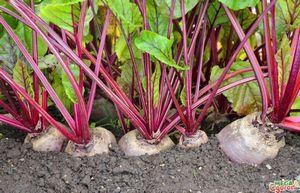 Сорт свеклы детройт — среднеспелый и очень урожайный
