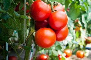 Сорт томатов санька - особенности сорта и советы по выращиванию