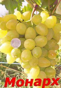 Сорт винограда монарх - общие требования для выращивания