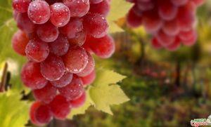 Сорт винограда виктория: описание и агротехника