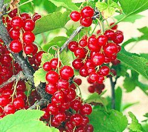 Сорта красной смородины раннего срока созревания