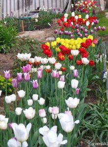 Сортовые тюльпаны почти даром? это возможно
