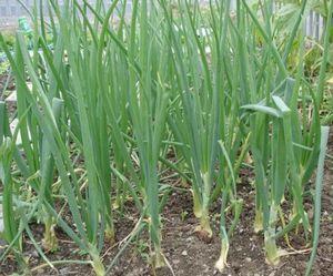 Советы дачникам по выращиванию чеснока