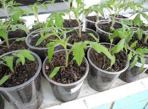 Советы и рекомендации огородников: как правильно выращивать помидоры
