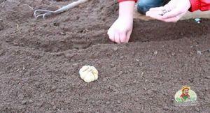 Советы огородникам: когда сажать чеснок и как правильно