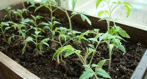 Советы огородникам: правильная подготовка и посадка семян на рассаду