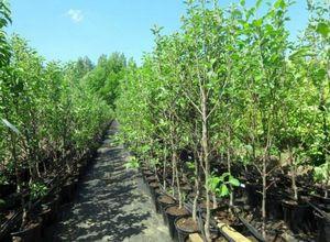 Советы по посадке саженцев плодовых деревьев