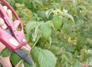 Советы садоводам: как правильно обрезать малину на зиму