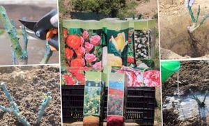 Советы садоводам: как правильно посадить виноград весной