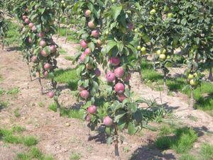 Советы садоводам: как правильно вырастить яблоню в саду