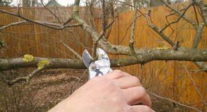 Советы садоводам: когда и как правильно обрезать яблоню