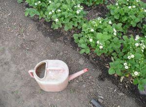 Советы садоводу: чем подкормить клубнику весной