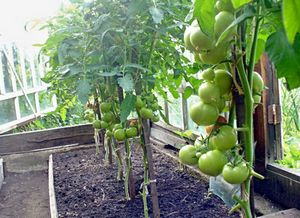 Совместное выращивание растений в одной теплице