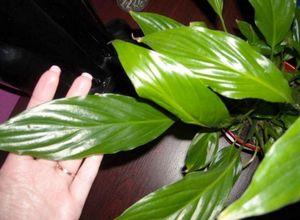 Спатифиллум: описание и агротехника растения