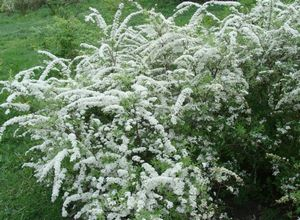 Спирея голд флейм - выращиваем красивый декоративный кустарник в своем саду