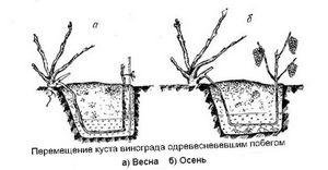 Способы размножения девичьего винограда
