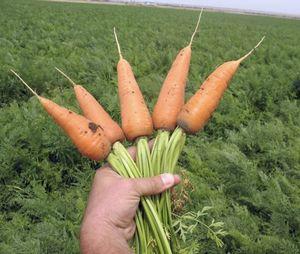 Способы выращивания моркови на поле