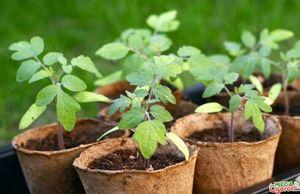 Способы выращивания рассады: виды емкостей, посадка семян и уход