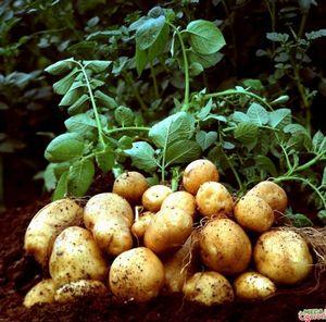Строение клубня картофеля, а также размножение и уход за популярным овощем