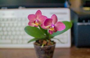 Строптивые красотки - орхидеи
