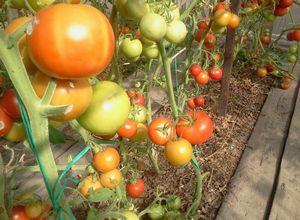 Свежие помидоры к новогоднему столу-как сохранить помидоры свежими?