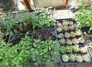 Технология круглогодичного выращивания пионов в теплице