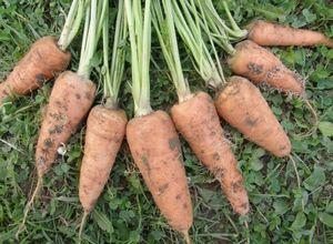 Технология возделывания моркови: посадка, уход и борьба с вредителями