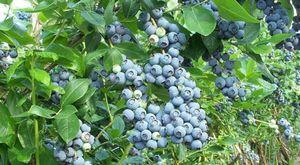 Теплица для голубики: правила выращивания ягоды и ухода за ней