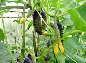 Тепличный опыт огородников