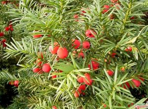 Тис ягодный: описание, сорта и агротехника
