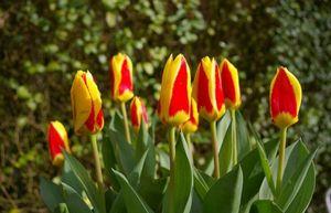 Тюльпаны - лучшие сорта, правила посадки и ухода за цветами в саду