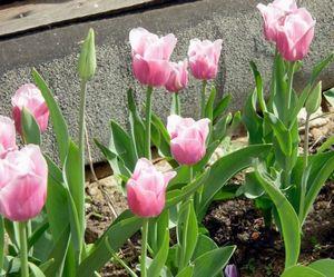 Тюльпаны в саду - сорта, выращивание, размножение