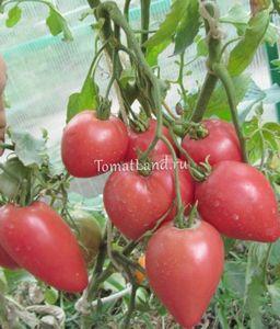 Томат чудо земли - индетерминантный сорт с крупными плодами