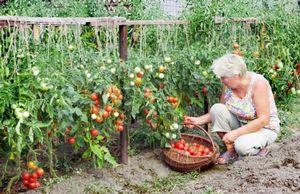 Томат «дубрава»: описание сортовых признаков и особенностей выращивания