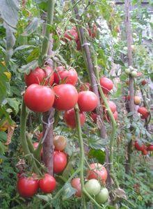 Томат сорта «верлиока»: основные характеристики и советы по выращиванию