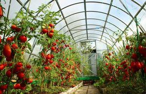 Томаты: выбираем лучшие сорта для высадки в теплицу из поликарбоната
