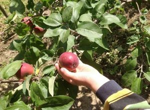 Тонкости выращивания ежевики: как культивировать ягоду в теплице круглый год