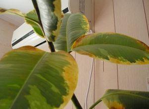 У юкки желтеют листья: почему и что делать?