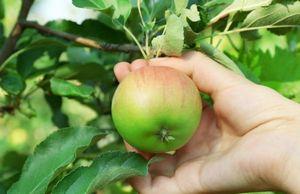Уборка яблок, груш, смородины и крыжовника. хранение яблок