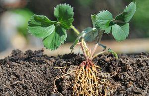 Удобряем садовую землянику весной