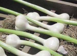 Уход за чесноком, или как вырастить очень крупный чеснок?