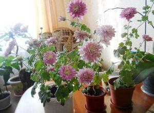 Уход за домашними хризантемами - полив, подкормка и пересадка цветов